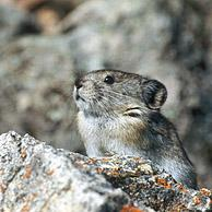 American pika (Ochotona princeps) on the look-out in rocky habitat, North America, Alaska, Denali NP, USA