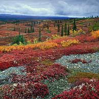 Tundra in its autumn colours, Denali NP, Alaska, USA