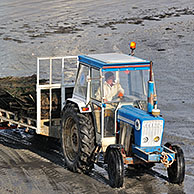 Tractor on beach returning with cartload full of cultivated oysters (Lophia folium) from oyster bank / oyster park at Saint-Vaast-la-Hougue, Normandy, France <BR><BR>More images at www.arterra.be</P>