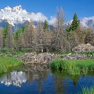 American beaver dam and den (Castor canadensis) Grand Teton NP, Wyoming, USA