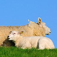 Domestic Texel sheep (Ovis aries) ewe with two lambs, the Netherlands