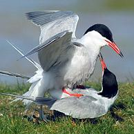 Common Tern (Sterna hirundo) couple mating, Texel, the Netherlands