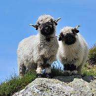 Valais Blacknose / Blacknosed Swiss sheep (Ovis aries) in the Alps, Valais, Switzerland